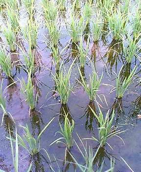 定点観測稲