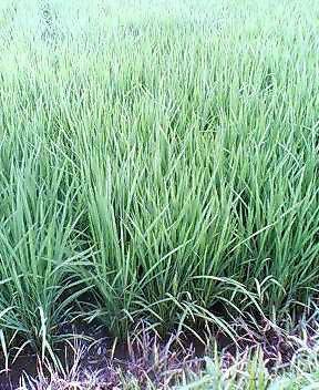 定点観測 稲