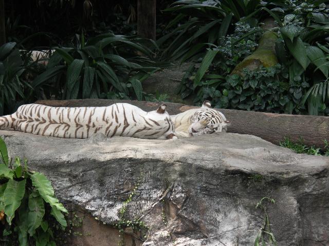 Sg0811zoowhite_tiger