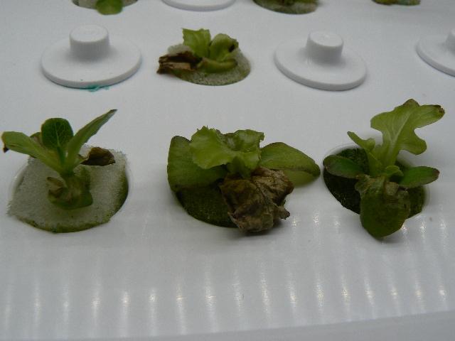 Lettuce31