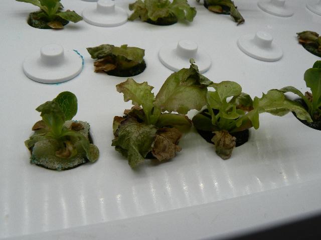 Lettuce1220
